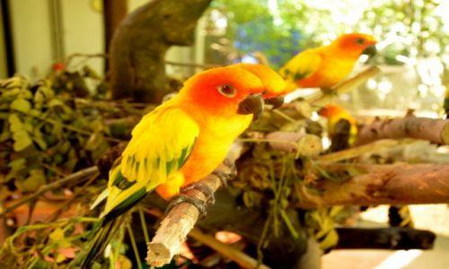Zdj�cie TAJLANDIA / Phuket / Ogrod Botaniczny przy Kata Beach / Papu�ki nieroz��czki