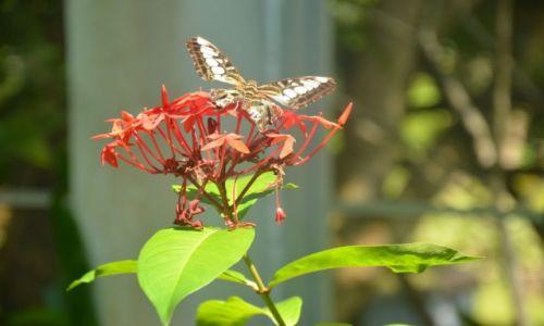 Zdj�cie TAJLANDIA / Phuket / Ogr�d Botaniczny  / motyl tajski