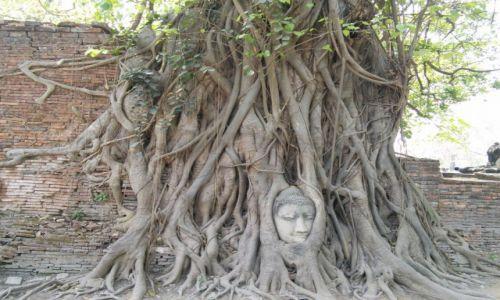 Zdjęcie TAJLANDIA / Ayuttaya  / Ayuttaya / Budda w korzeniach figowca