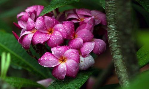 Zdjecie TAJLANDIA / Chiang Mae / targ kwiatowy / Frangipani w deszczu