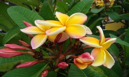 Zdjęcie TAJLANDIA / gdzieś po drodze / ulica / Do kwiatowej kolekcji -Plumeria