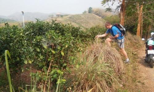 TAJLANDIA / Północna Tajlandia / Chiang Rai / Pola herbaty (w końcu :) )