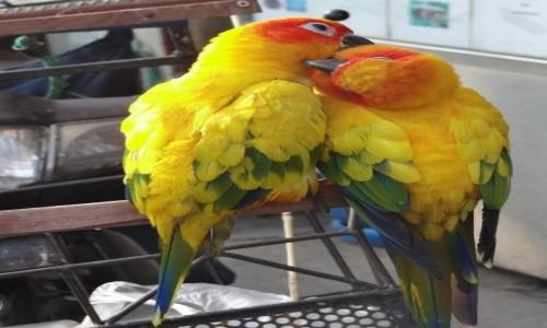 Zdjecie TAJLANDIA / Chiang Mai / Chiang Mai / Papużki nierozłączki ;)