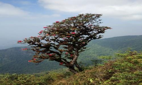Zdjęcie TAJLANDIA / Chiang Mai / Kew Mae Pan Nature Trail / Rododendron, drzewo tysiąca róż.