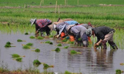 TAJLANDIA / północ / gdzieś po drodze / Sadzenie ryżu