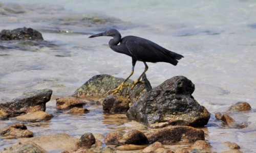 Zdjecie TAJLANDIA / południe / wyspa na Morzu Andamańskim / Czapla Szarobrzucha?