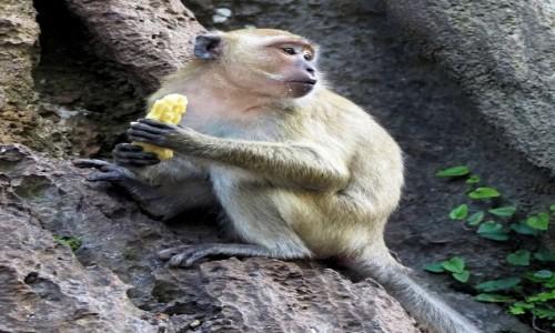 Zdjecie TAJLANDIA / KRABI / Zatoka Krabi / Małpi ród-2