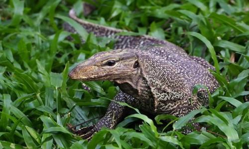 Zdjęcie TAJLANDIA / Krabi / Ao Nang / Mój koleżka z trawnika ;)