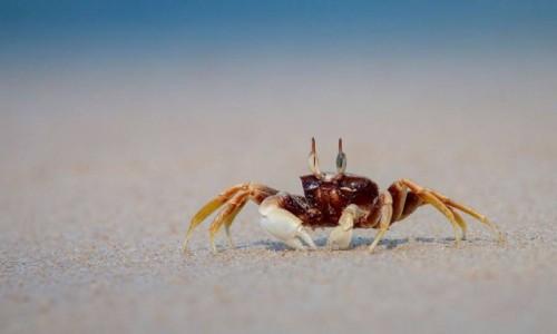 TAJLANDIA / Krabi / plaża / Krab w Krabi