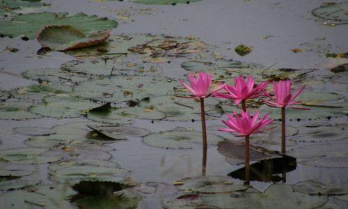 Zdjecie TAJLANDIA / brak / Sukothai / lotosy