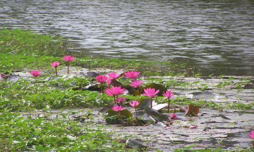 TAJLANDIA / północ Tajlandii / Sukhotai / kwiaty Tajlandii 1
