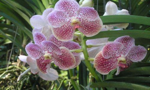 TAJLANDIA / północ Tajlandii / okolice Chiang Mai / orchidee