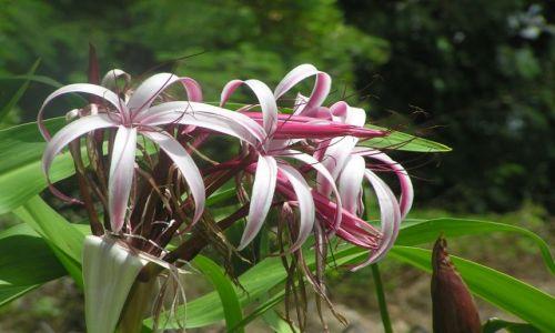 TAJLANDIA / południowy-wschódTajlandii / Songla / kwiaty Tajlandii 6
