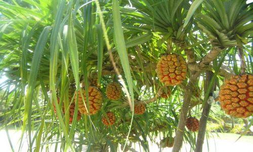 TAJLANDIA / południowy-wschódTajlandii / Songla / zadziwiające szyszki