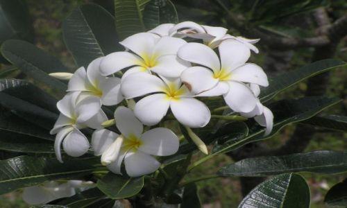 Zdjecie TAJLANDIA / poł.-zach. Tajlandia / Songla / kwiaty Tajlandii 5