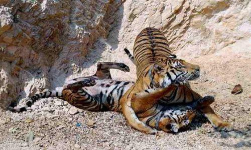 Zdjecie TAJLANDIA / Kanchanaburi / Tiger Temple / Tiger Temple