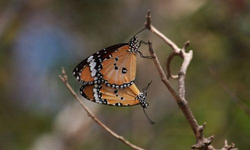 Zdjęcie TAJLANDIA / brak / Pattaya / tajlandzie motylki też czują wiosnę....