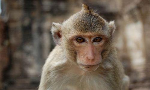 Zdjęcie TAJLANDIA / Tajlandia / Lobpuri / Lopburi Mohawk Monkey