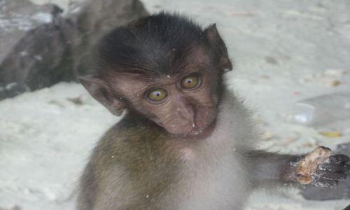 Zdjecie TAJLANDIA / Phi Phi / Monkey Beach / malutka małpeczka