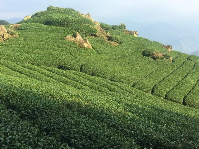 Zdjęcia: Alishan, Tea Fields, TAJWAN