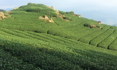 TAJWAN / - / Alishan / Tea Fields