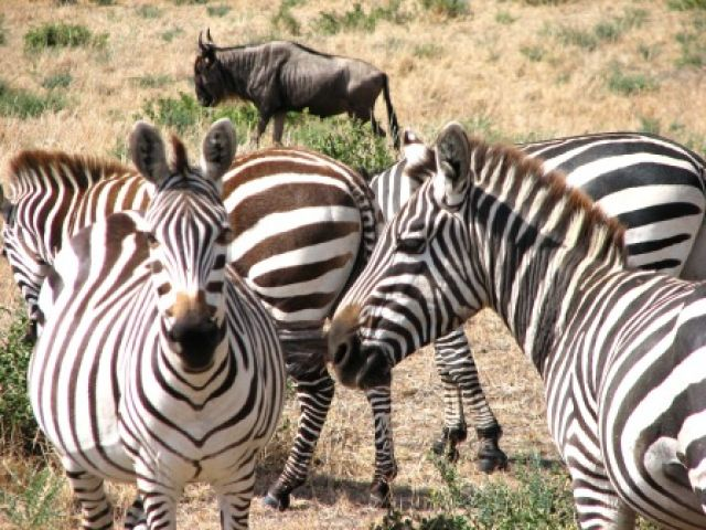 Zdj�cia: Ngoro-Ngoro, zebranie..zebr..., TANZANIA