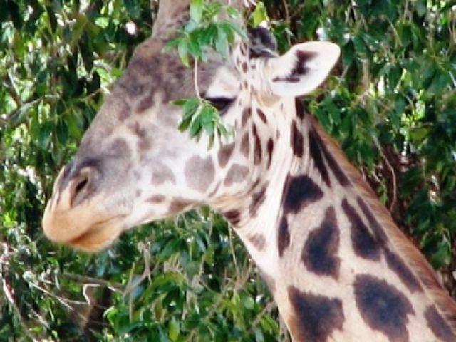 Zdjęcia: Serengeti, zyrafa, TANZANIA