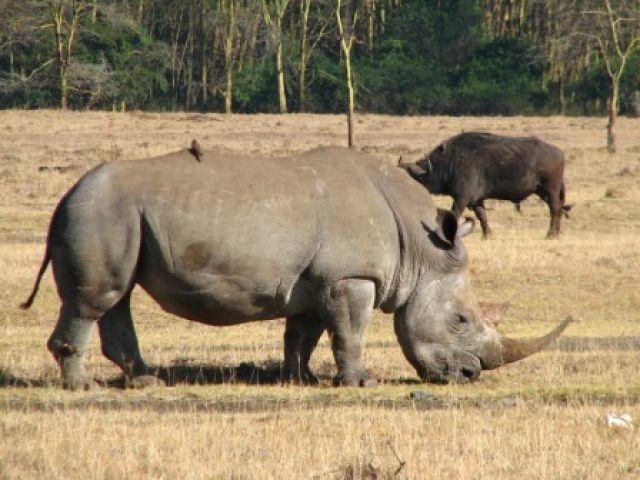 Zdjęcia: Serengeti, mleczyk... pierwszy w tym sezonie, TANZANIA