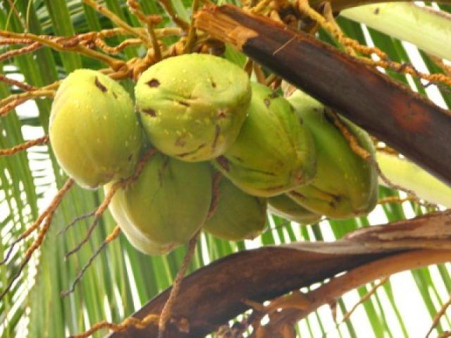 Zdjęcia: Zanzibar, kokosy, TANZANIA