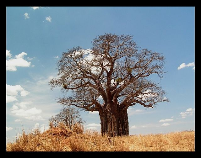 Zdjęcia: P. N. Tarangire, północna Tanzania, Baobab2, TANZANIA