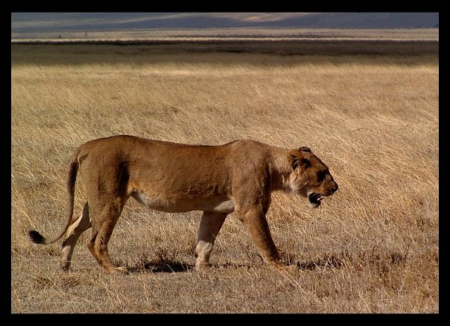 Zdj�cia: krater Ngorongoro, p�nocna Tanzania, Lew , TANZANIA