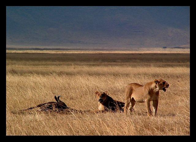 Zdjęcia: krater Ngorongoro, północna Tanzania, Po posiłku..., TANZANIA