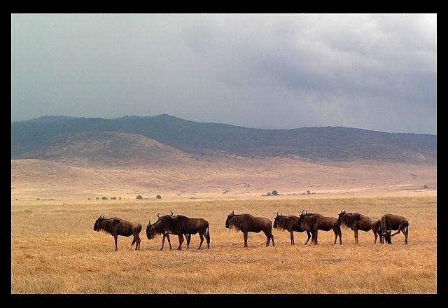 Zdjęcia: krater Ngorongoro, północna Tanzania, W grupie bezpieczniej, TANZANIA