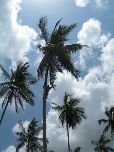 Zdj�cia: Wschodnie Wybrze�e Zanzibaru, Zanzibar, Kokosy, TANZANIA