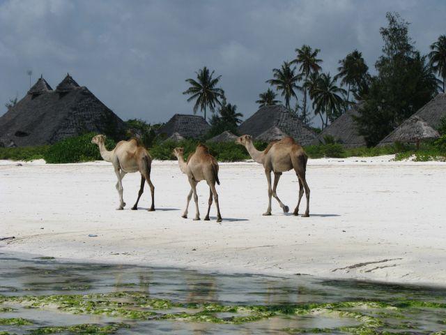 Zdj�cia: Paje, Afryka, Zanzibar, Statki pustyni na pla�y, TANZANIA