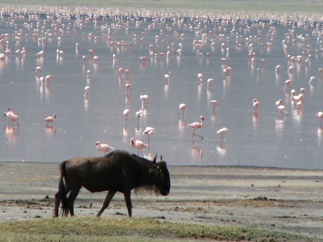 Zdjęcia: Ngorongoro, Afryka, Gnu , TANZANIA