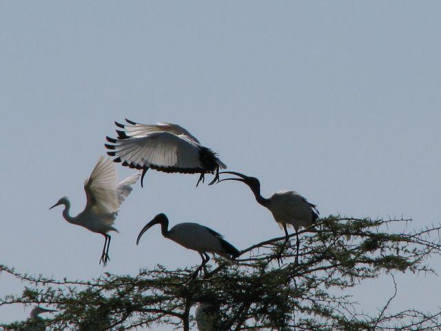 Zdjęcia: Manyara Lake, Afryka, Pelikany, TANZANIA