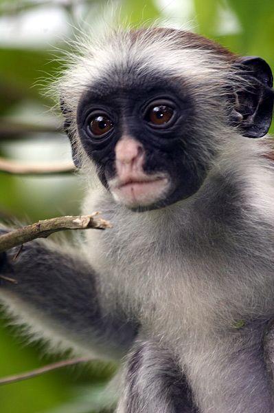 Zdjęcia: Zanzibar, małpka czerwona z Zanzibaru, TANZANIA