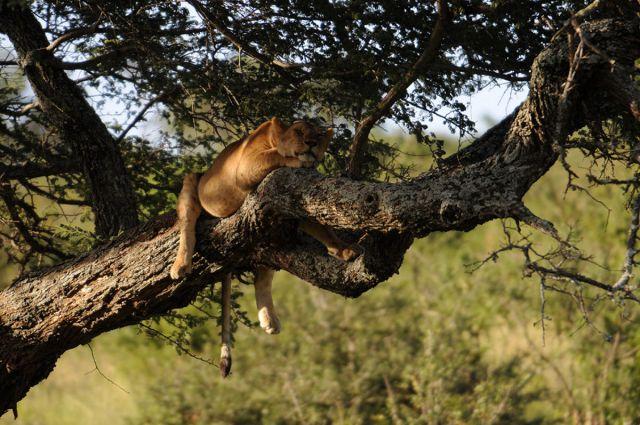 Zdjęcia: Afryka, Serengeti, Siesta, TANZANIA