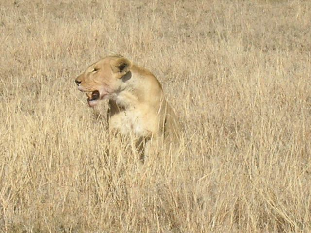Zdjęcia: Serengeti, Niech ktoś spróbuje się zbliżyć, TANZANIA