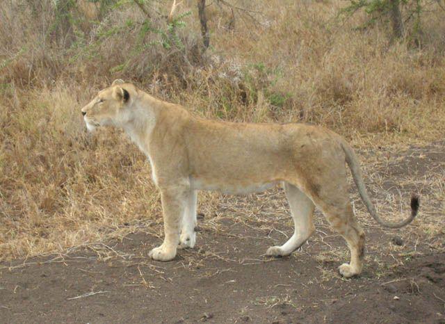 Zdj�cia: Serengeti, Obserwatorka, TANZANIA