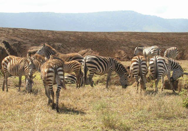 Zdjęcia: Ngorongoro, Elegantki z Ngorongoro, TANZANIA