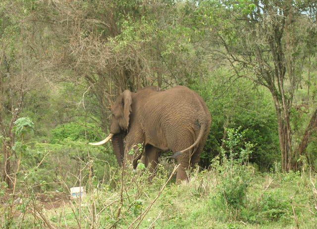 Zdjęcia: Ngorongoro, Nieproszony gość (kemp. Simba), TANZANIA