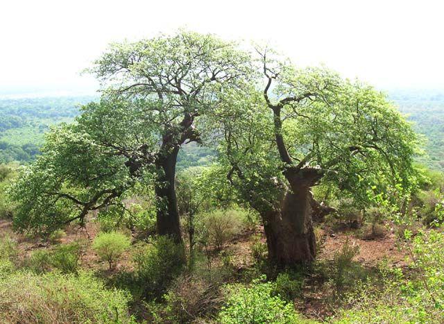Zdjęcia: Karatu, Baobaby, TANZANIA