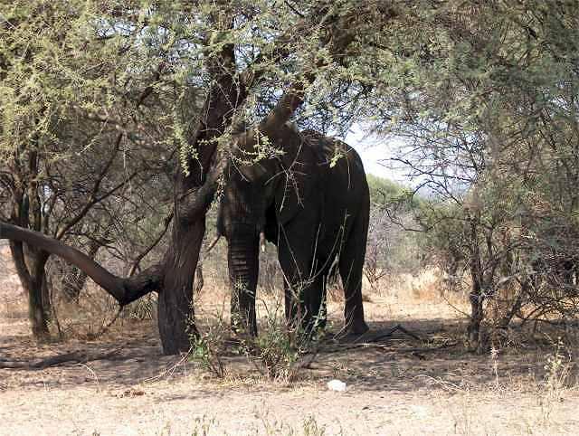 Zdjęcia: Park Narodowy Tarangira, Tarangira, Słoń, TANZANIA