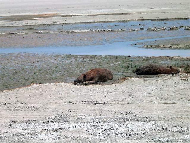 Zdjęcia: Krater Ngoro Ngoro, Serengeti, Hieny, TANZANIA