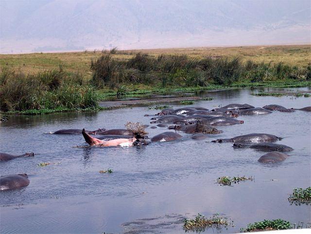 Zdj�cia: Krater Ngoro Ngoro, Serengeti, Hipopotamy, TANZANIA