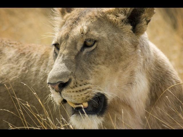 Zdj�cia: Ngorongoro, O czym my�li lew?, TANZANIA