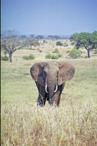 Zdjęcia: Tarangira, Samotny samiec, TANZANIA