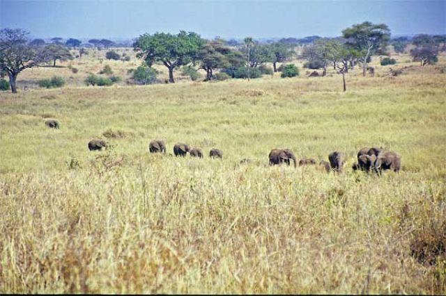 Zdjęcia: Tarangira, stado słoni, TANZANIA